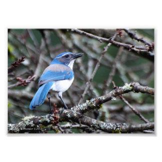 5X7 Western Blue Jay Photographic Print
