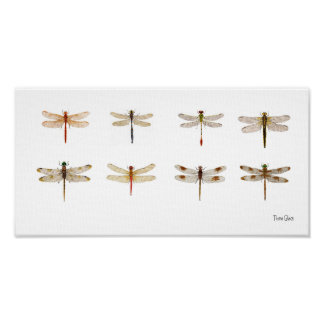 8 Dragonfly species Poster