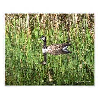 8X10 Canadian Goose Reflection Photo Print