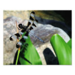 8x10 Zebra Dragonfly Photograph