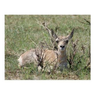 A0007 Baby Pronghorn Antelope Postcard