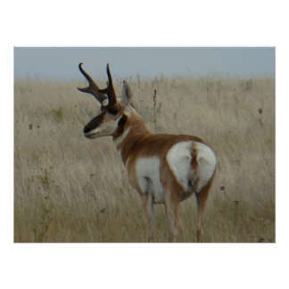 A0022 Pronghorn Antelope Poster