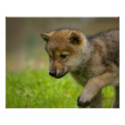 A baby wolf poster
