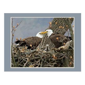 A Bald Eagle Family Portrait Postcard