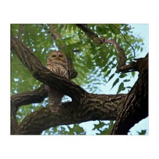 A Barred Owl on a Branch in the Woods Acrylic Print