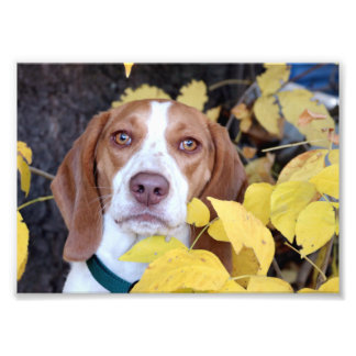 A beagle in the fall leaves photograph