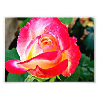 A Beautiful Rose Photo
