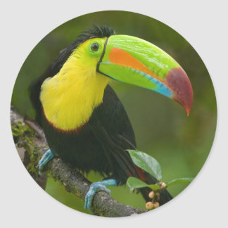 A beautiful toucan bird perched on a branch. classic round sticker