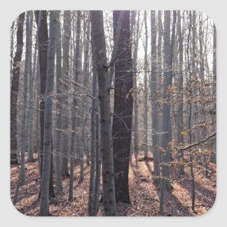 A beech forest in fall. square sticker