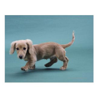 A beige small dachshund walking postcard