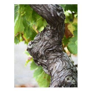 A branch of a very old vine with gnarled postcard