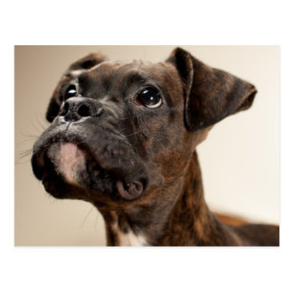 A Brindle Boxer puppy looking up curiously. Postcard