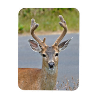 A Buck Mule Deer Magnet