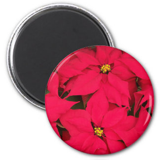 A bunch of Brightly Colored Christmas Poinsettias Magnet