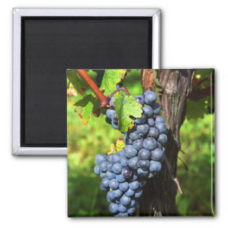 A bunch of grapes ripe merlot on a vine with square magnet