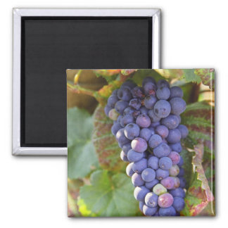 A bunch of Pinot Noir grapes in a Chambertin Square Magnet