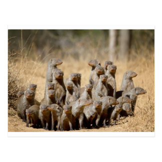 A Business of Mongoose Postcard