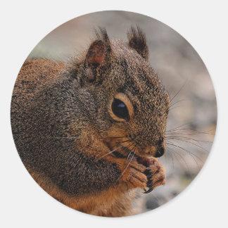 A Busy Douglas Squirrel Classic Round Sticker