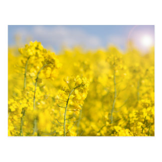 A canola field in spring postcard