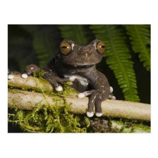 A captive Tapichalaca Tree Frog (Hyloscirtus Postcard
