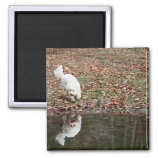 A Cavachon Reflection Fine Art Magnet