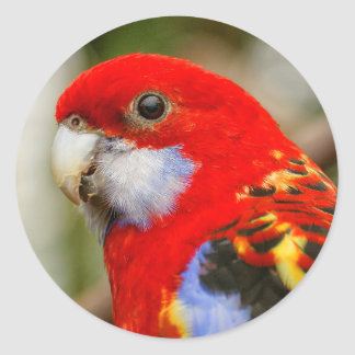 A Cheeky Eastern Rosella Round Sticker
