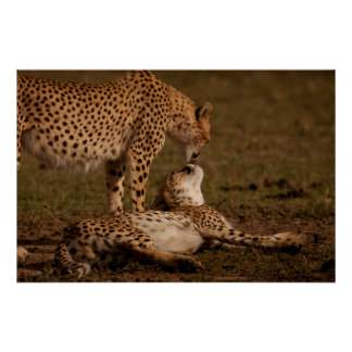 A Cheetah's Kiss Poster
