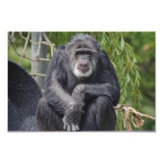 A Chimpanzee Sitting and Staring Photo