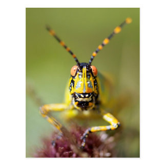 A close-up of an Elegant Grasshopper Postcard