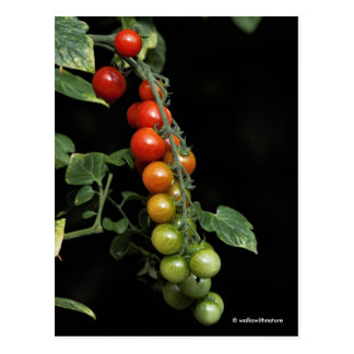 A Colorful Gradient of Homegrown Cherry Tomatoes Postcard