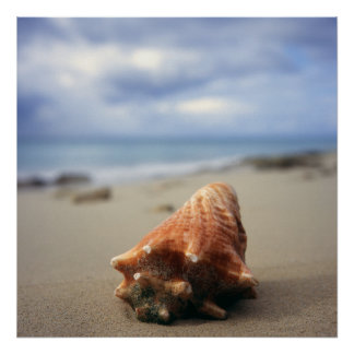 A Conch Shell On The Beach | St. Croix, Usvi Poster