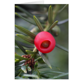A cone of a yew (Taxus baccata) Card