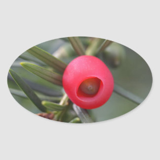 A cone of a yew (Taxus baccata) Oval Sticker