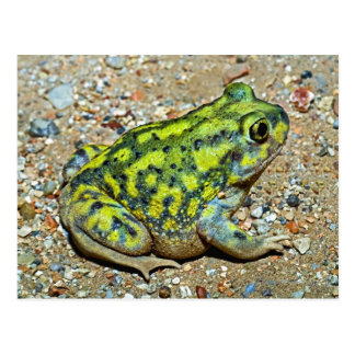 A Couch's Spadefoot toad Postcard