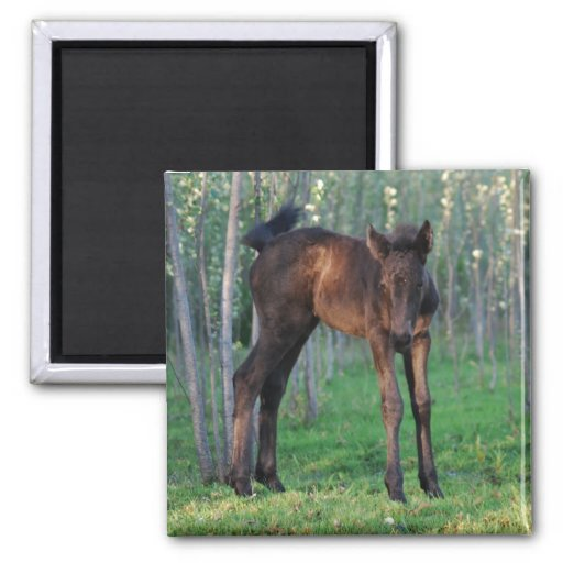 A cute baby foal refrigerator magnet