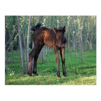 A cute baby foal post card