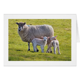 A cute pair of lambs with their mother card