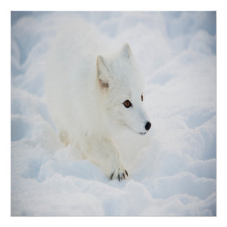 A cute small white arctic fox walking in snow poster
