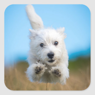 A Cute West Highland Terrier Puppy Running Square Sticker