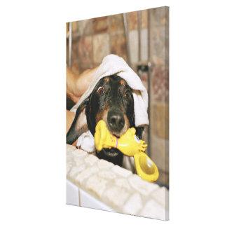 A dachshund being bathed. gallery wrap canvas