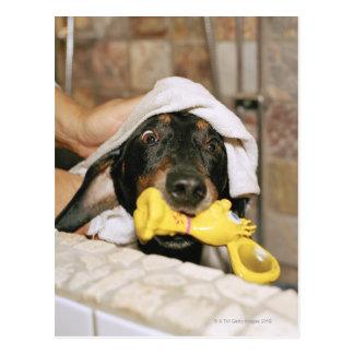 A dachshund being bathed. postcard