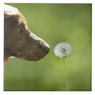 A dog and a dandelion. tile