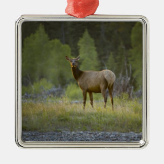A female elk stands looking at the camera with a metal ornament