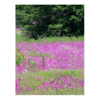 A field of pink spring wildflowers postcard