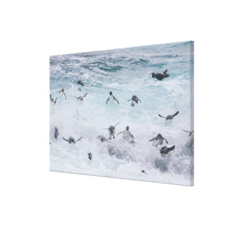 A flock of Rockhopper penguins launch out of the Canvas Print