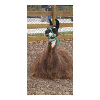 A Fluffy Brown Llama laying down in zoo pen Photo Card Template