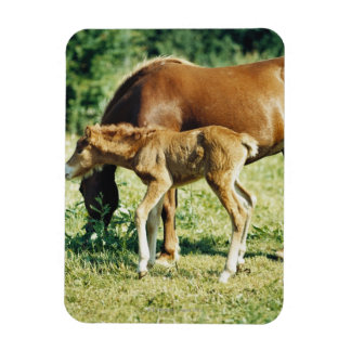 A foal and a horse in a pasture. rectangular photo magnet