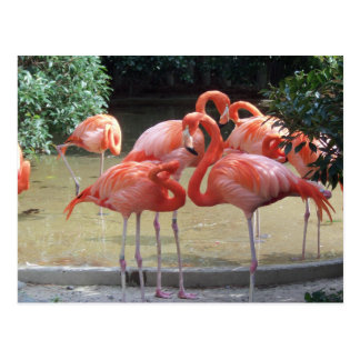 A Gaggle Of Flamingos Postcard