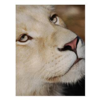A gentle lion face South Africa Postcard