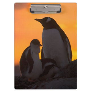 A gentoo penguin adult and chick are silhouetted clipboards